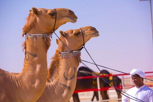 Al Dhafra Festival | Abu Dhabi Culture